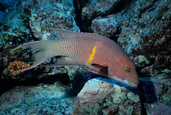 A large Hogfish (species unidentified) forages the rugged bottom.