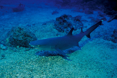"A Whitetip Reef Shark warily eyes the approaching photographer diver.  The government of Costa Rica diligently patrols the waters of Cocos Island - 300 miles off its Pacific coast, to deter the illegal practice of shark ""finning"" by commercial fishing boats."