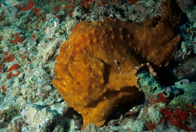 The Giant Frogfish uses its pectoral fins to steady itself on the bottom.