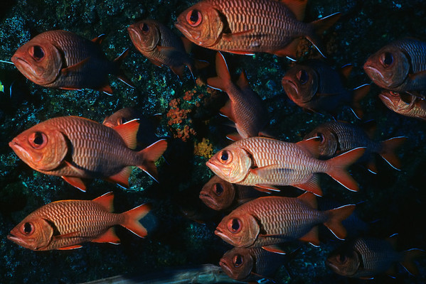 A school of Black Bar Soldierfish finds shelter from strong currents.
