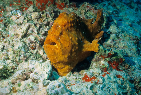 A Giant Frogfish sits motionless on the bottom. A fleshy appendage on the snout is used to lure unsuspecting prey within striking distance.