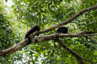 Howler monkeys Sarapiqui River, Costa Rica