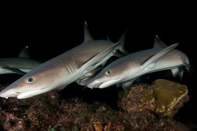 Whitetip sharks Isla Manueliate, Cocos