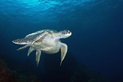 Seat turtle Isla Manuelita, Cocos