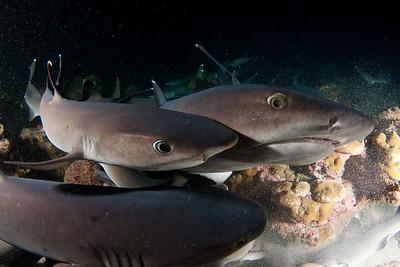 Whitetip sharks Isla Manuelita, Cocos