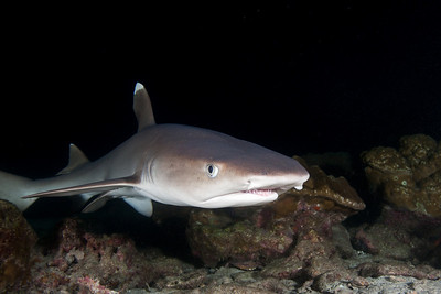 Whitetip shark at night Bahia Chatham, Cocos