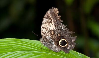 Butterfly Selva Verde, Costa Rica