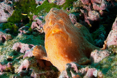Frogfish Bahia Chatham, Cocos