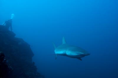 Galapagos shark Punta Maria, Cocos
