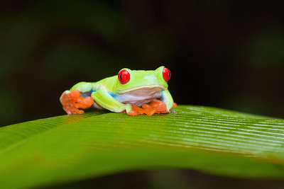 Red-eyed tree frog Selva Verde, Costa Rica