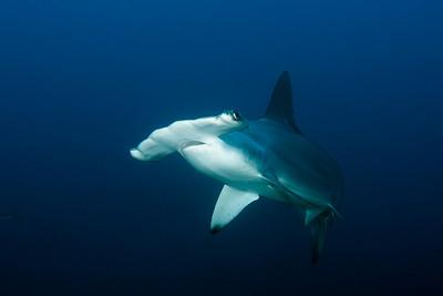 Hammerhead shark Alcyone, Cocos