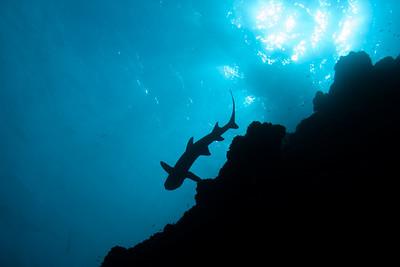 Whitetip shark Isla Manuelita, Cocos