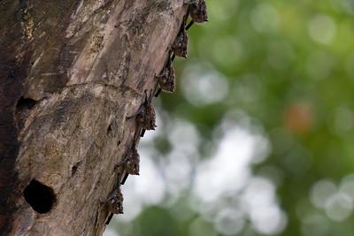 Bats, Sarapiqui River, Costa Rica