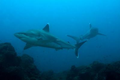 Silver tip sharks Silverado, Cocos