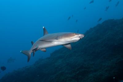 Whitetip shark Isla Manuelite, Cocos