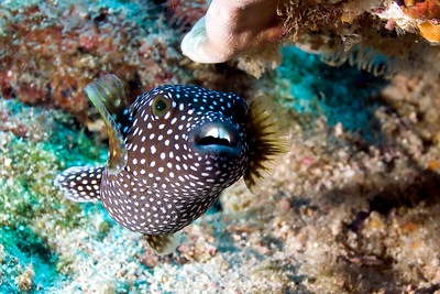 Female white spotted boxfish Viking Rock, Cocos