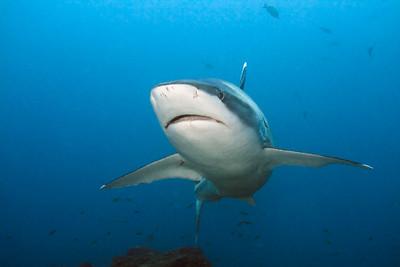 Silvertip shark Silverado, Cocos