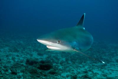Silver tip shark Silverado, Cocos
