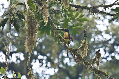 Toucan Braulio Carrillo National Park, Costa Rica