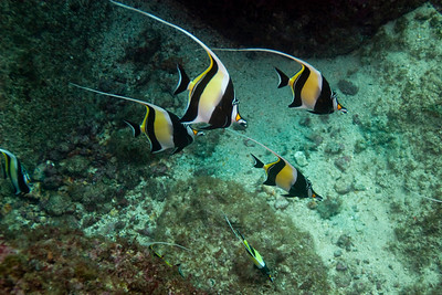 Moorish Idol.