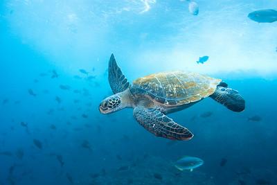 Turtle at Manuelita island, Cocos Island.