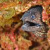 Reticulate Moray
