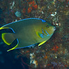 Townsend Angelfish