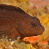 Crested Blenny