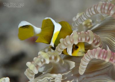 Solomon Islands Anemonefish