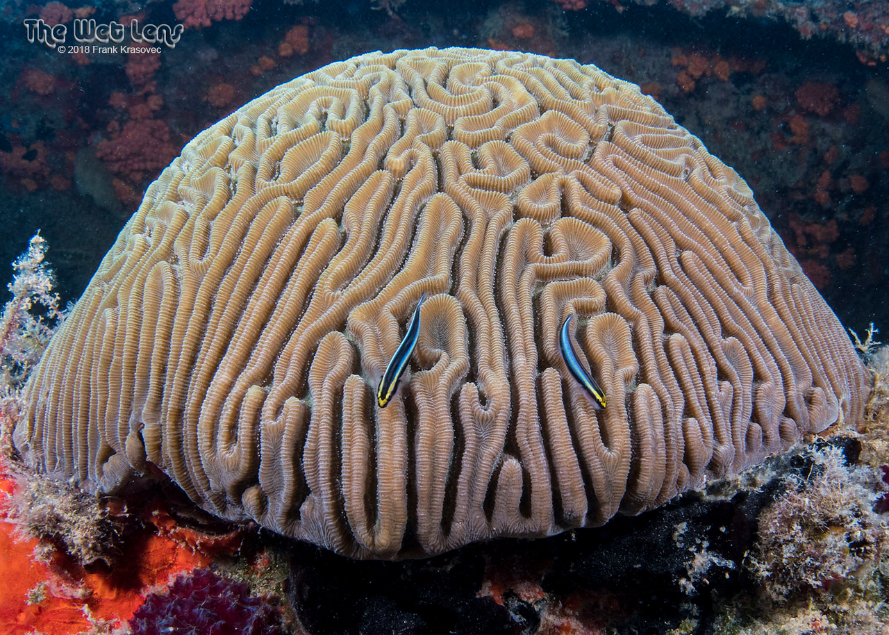 Sharknose Gobies on Symmetrical Brain Coral - Waiting for some business