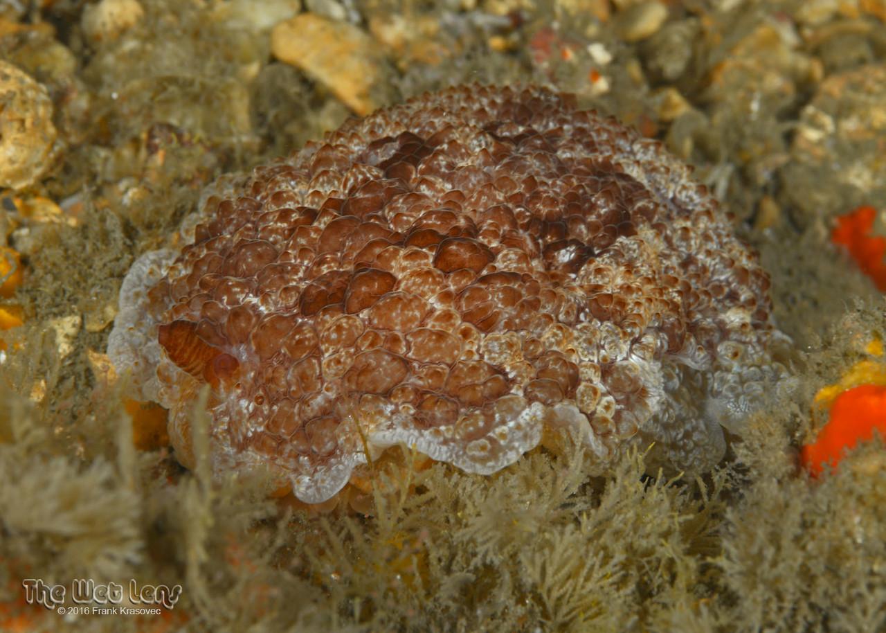 Atlantic Sidegill Slug