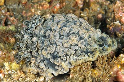 Warty Sea Slug