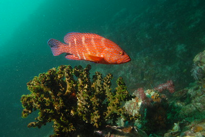 © Joseph Dougherty. All rights reserved.   Cephalopholis miniata  Red Coral Grouper, Miniata Grouper