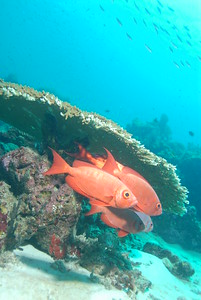 © Joseph Dougherty. All rights reserved.   A school of large Bigeye Soldierfish shelters under the overhang of a large table coral.