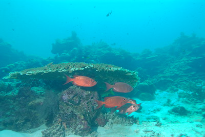 A school of large Bigeye Soldierfish shelters under the overhang of a large table coral.