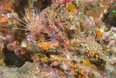 © Joseph Dougherty. All rights reserved.   Two Red Turkeyfish (Pterois antennata) hover over a colorful profusion of soft corals at Richelieu Rock. Roughly 75 feet deep.