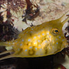 Boxfish, Cowfish, Trunkfish (Ostraciidae) :