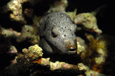 © Joseph Dougherty. All rights reserved.   Dog-faced Puffer, aka Black-spotted Puffer (Arothron nigropunctatus) sleeping on the reef during a night dive.