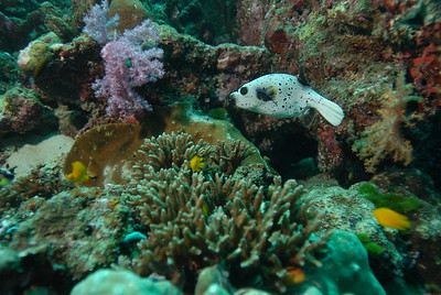 © Joseph Dougherty. All rights reserved.   Dog-faced Puffer, aka Black-spotted Puffer (Arothron nigropunctatus) swimming on the reef and being cleaned by a cleaner wrasse.