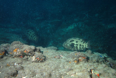 © Joseph Dougherty. All rights reserved.   Epinephelus tukula, Potato Cod Grouper  Two massive Potato Cod groupers moving over the reef at Richelieu Rock in the Andaman Sea.  ~50 feet deep.