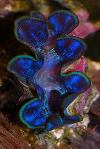 © Joseph Dougherty. All rights reserved.   Tridacna maxima  Griant Clam  Griant Clam, showing its bright metallic blue mantle.