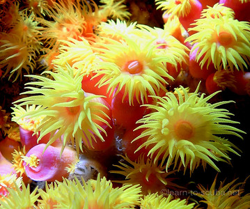 Orange sun polyps.