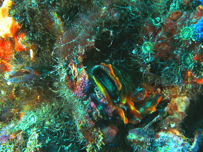 Colorful encrusting anemones.