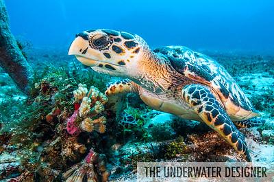 Hawksbill Sea Turtle, Cozumel, Mexico