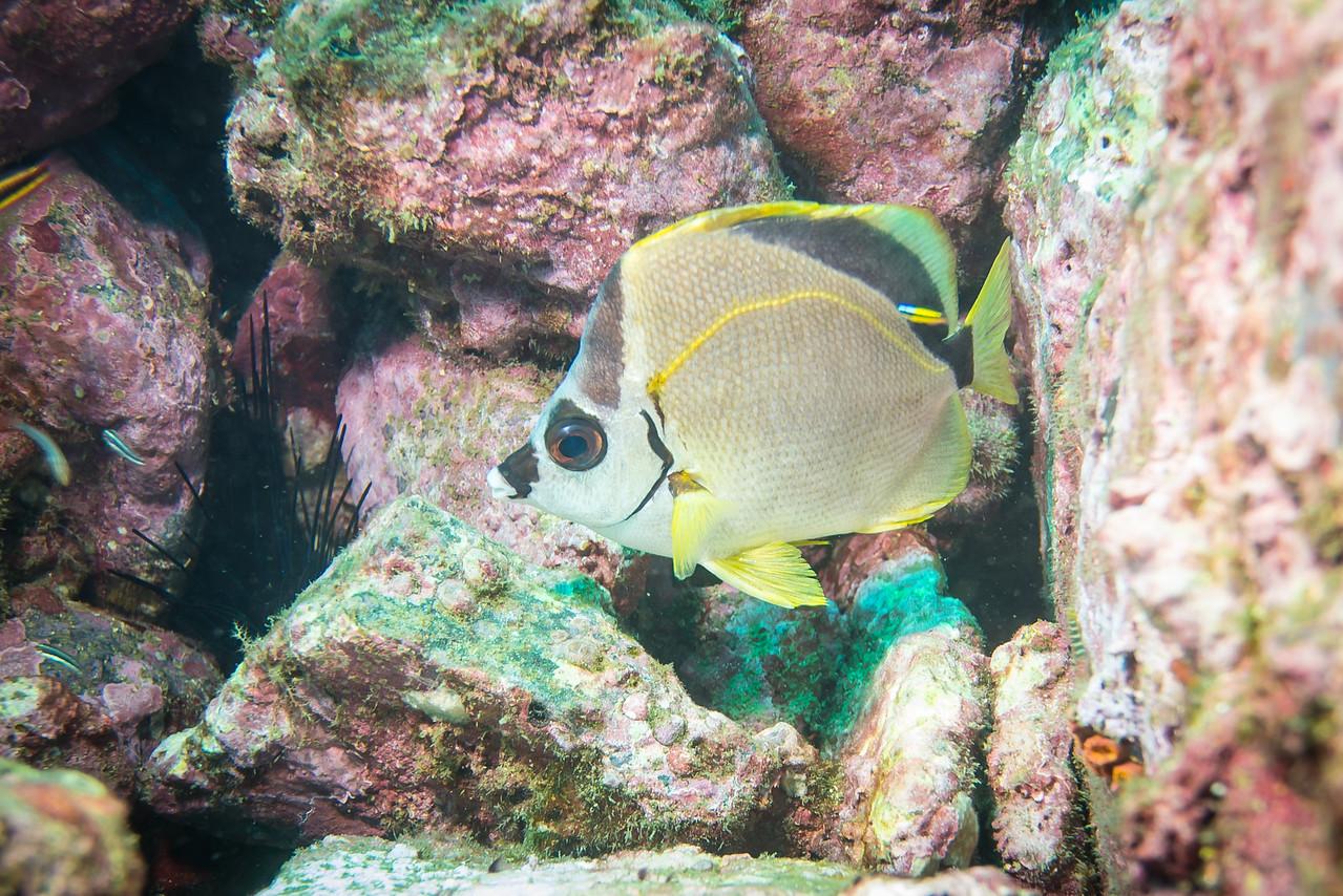 Barberfish, Costa Rica - December 2014