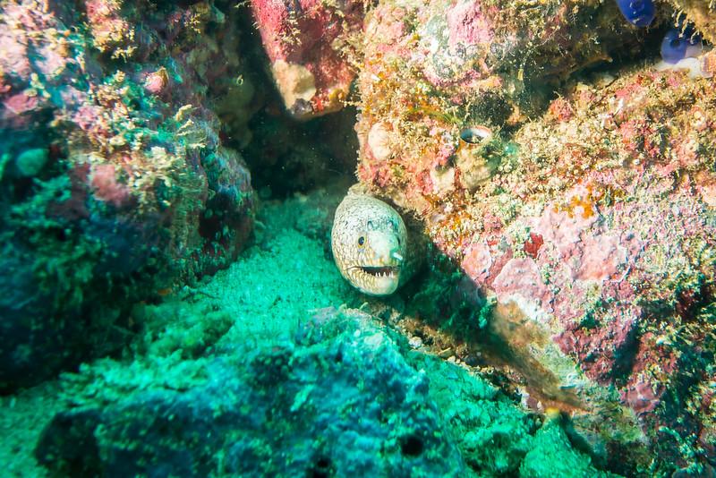 Jewel Moray Eel, Costa Rica - December 2014