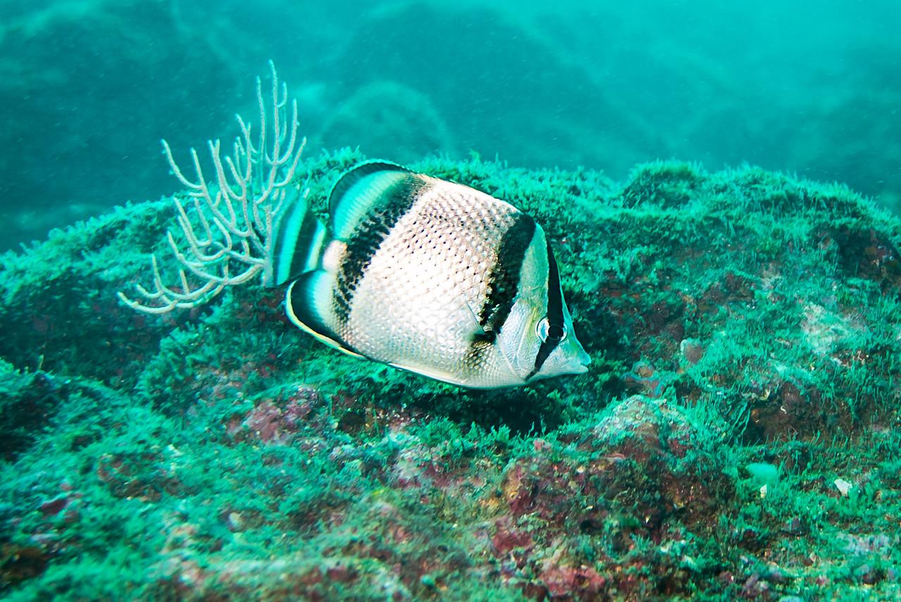 Threebanded Butterflyfish, Costa Rica - December 2014