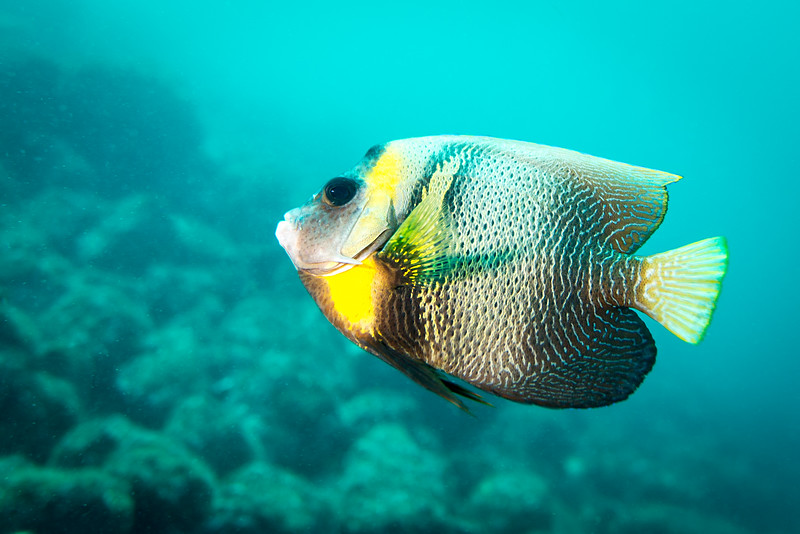 Cortez Angelfish, Costa Rica - December 2014
