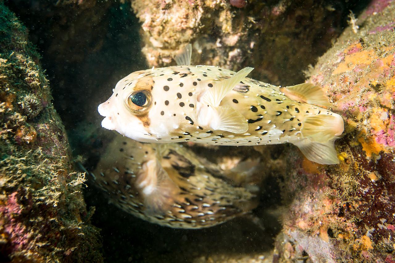 Balloonfish, Costa Rica - December 2014