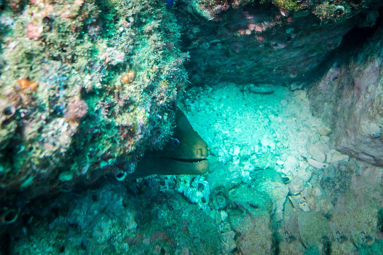 Green Moray Eel, Costa Rica - December 2014